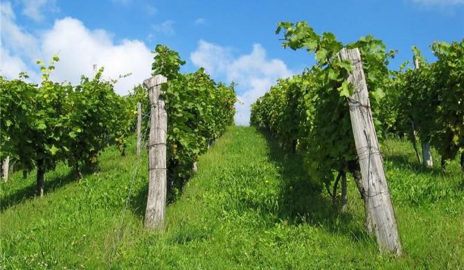 Preporuke vinogradara kontinentalne regije